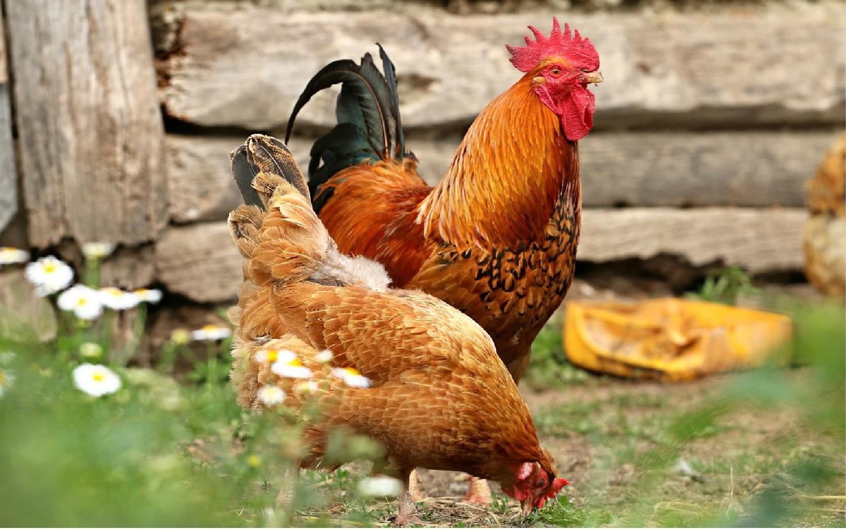 chicken predators