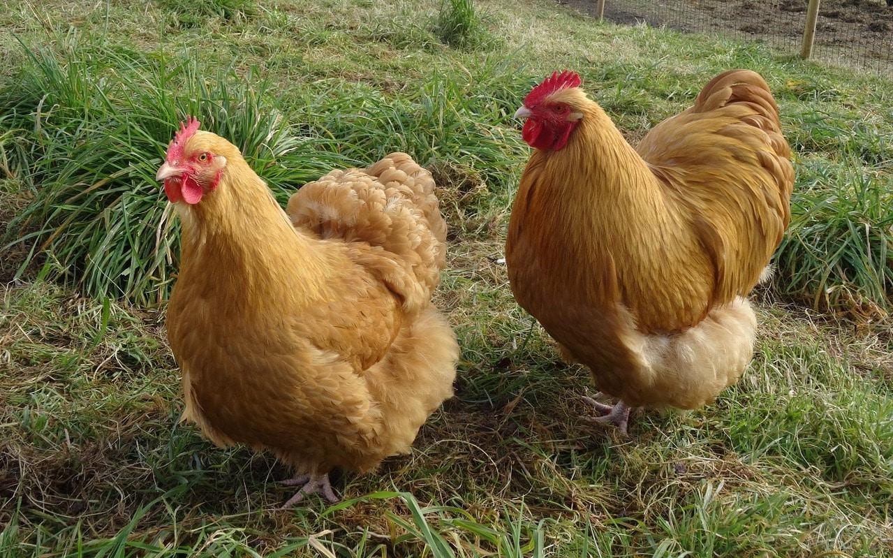 quietest chicken breeds