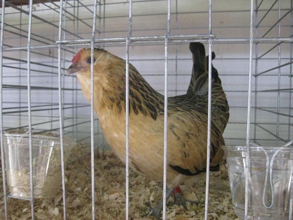 Belgian d'Anvers chicken
