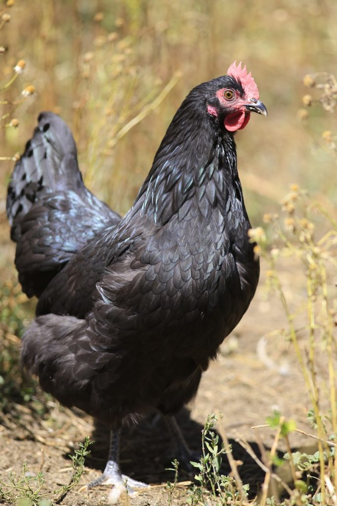 10 Types Of Black Chickens Breed Guide Know Your Chickens