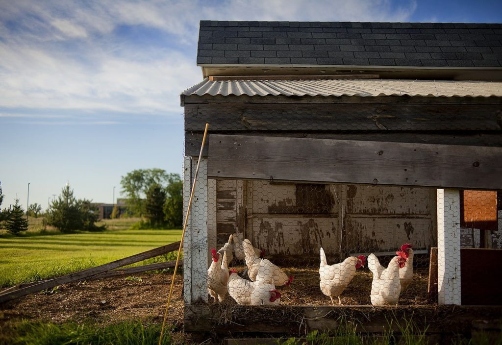 chicken and duck coops