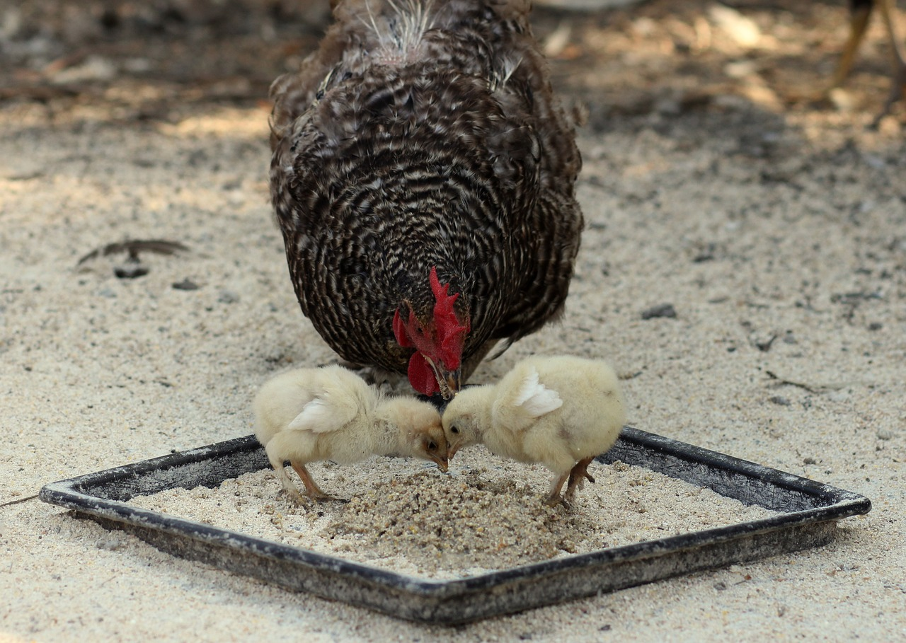 feeding baby chicks