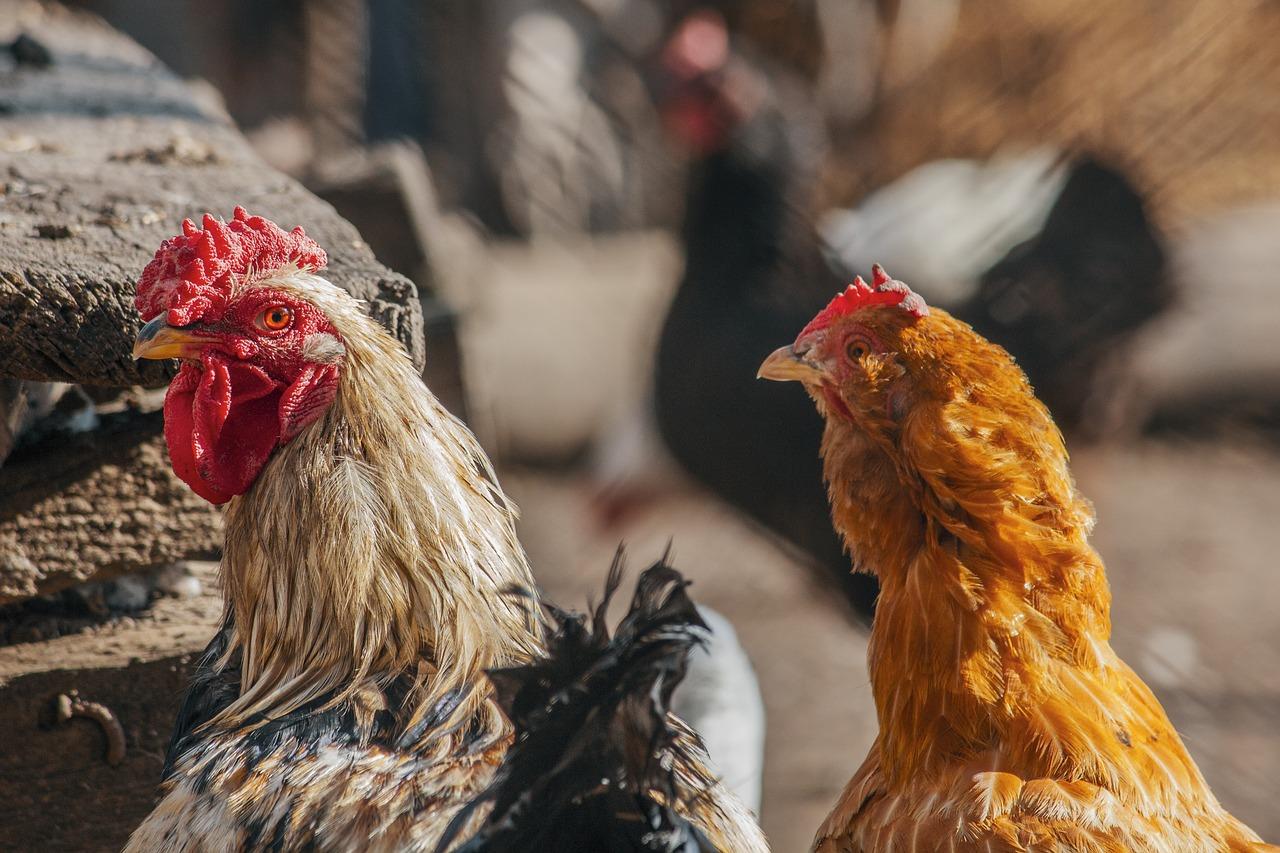 heat hardy chickens