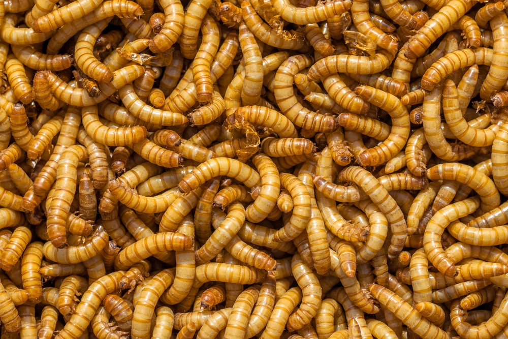 Background of many living Mealworm larvae suitable as Food
