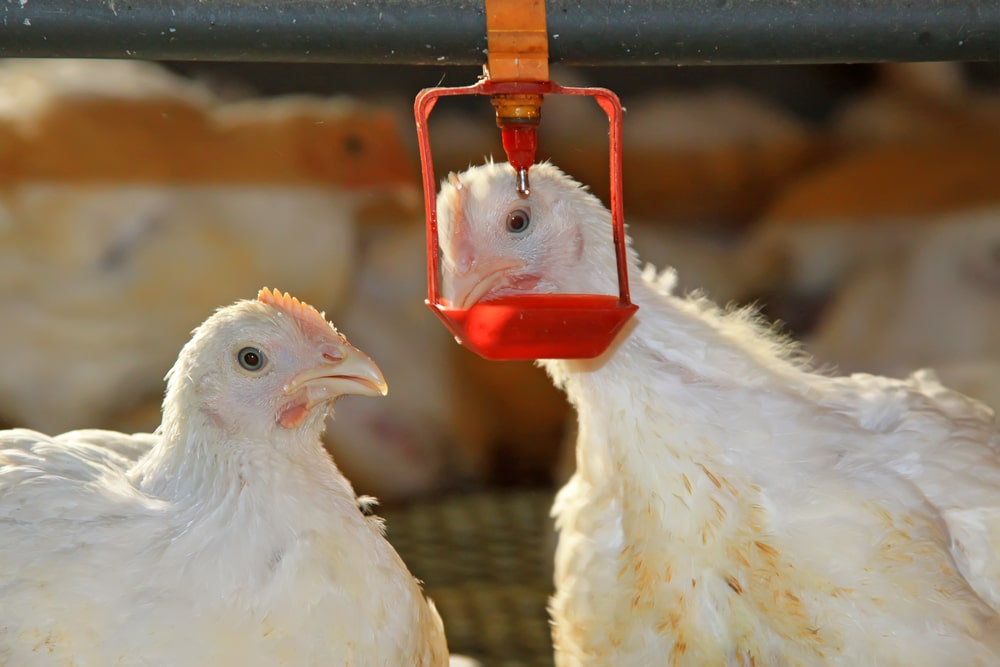 Creative Water Drinker Drinking Chicken Drinker Nipple Durable Quality