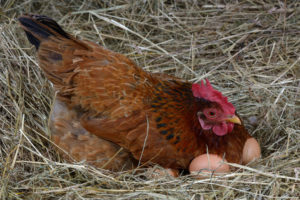 a hen laying eggs in its nest