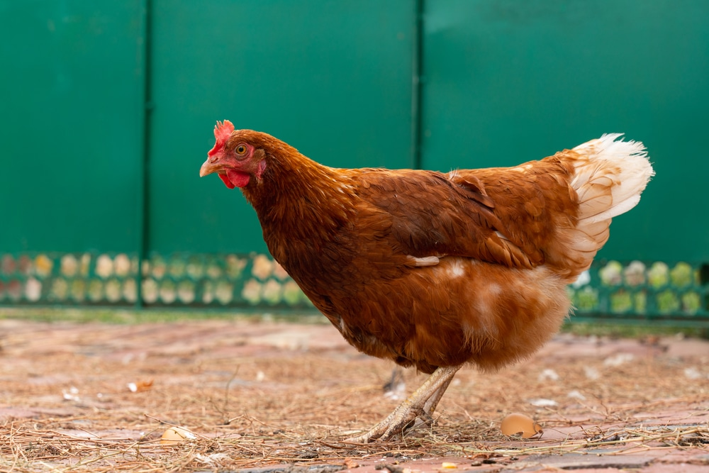 Rhode Island Red Chicken Breed Guide Know Your Chickens