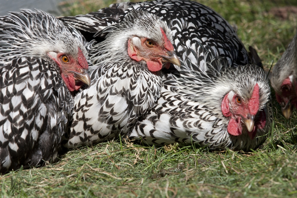 A close up of three Silver laced Wyandotte hens laying in the grass together.
