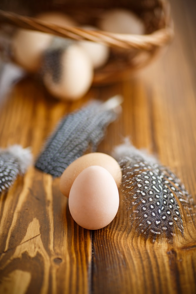 Eggs of a guinea fowl
