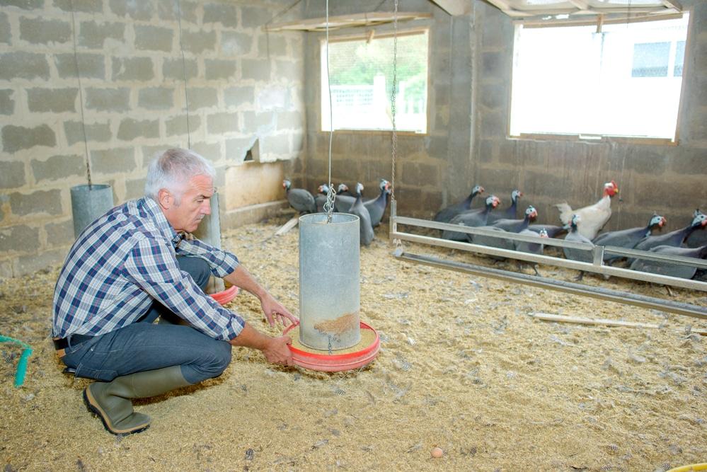 feeding guinea hens