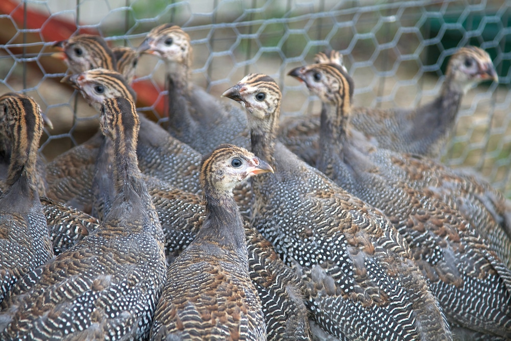 Six week old Guinea Fowl Keets