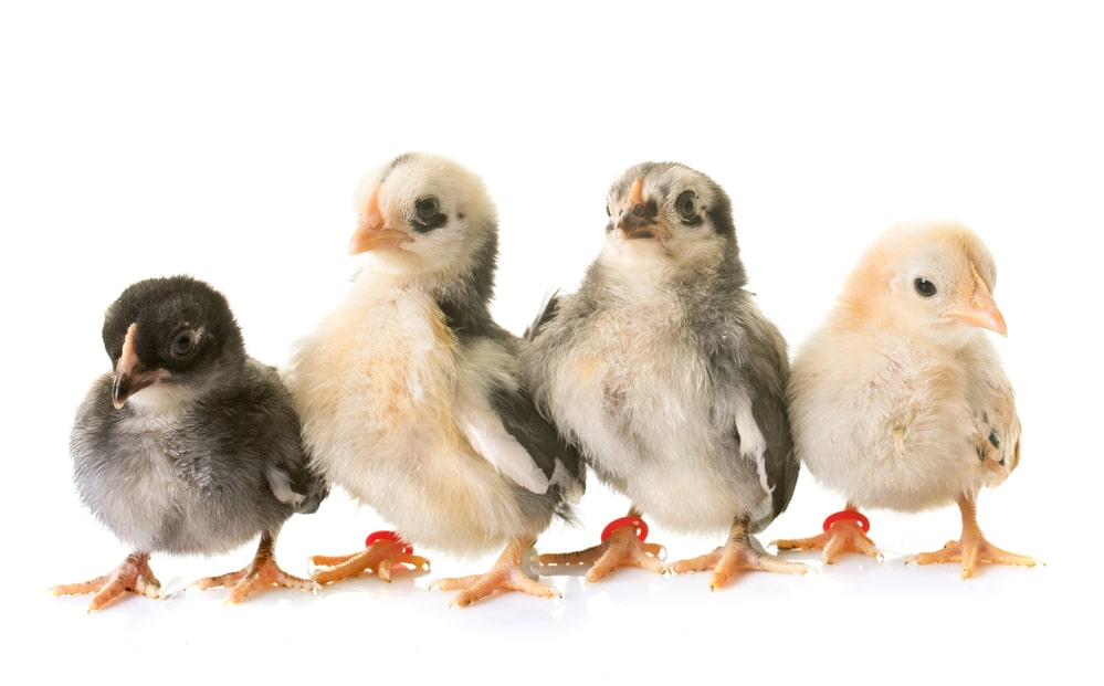 chick development