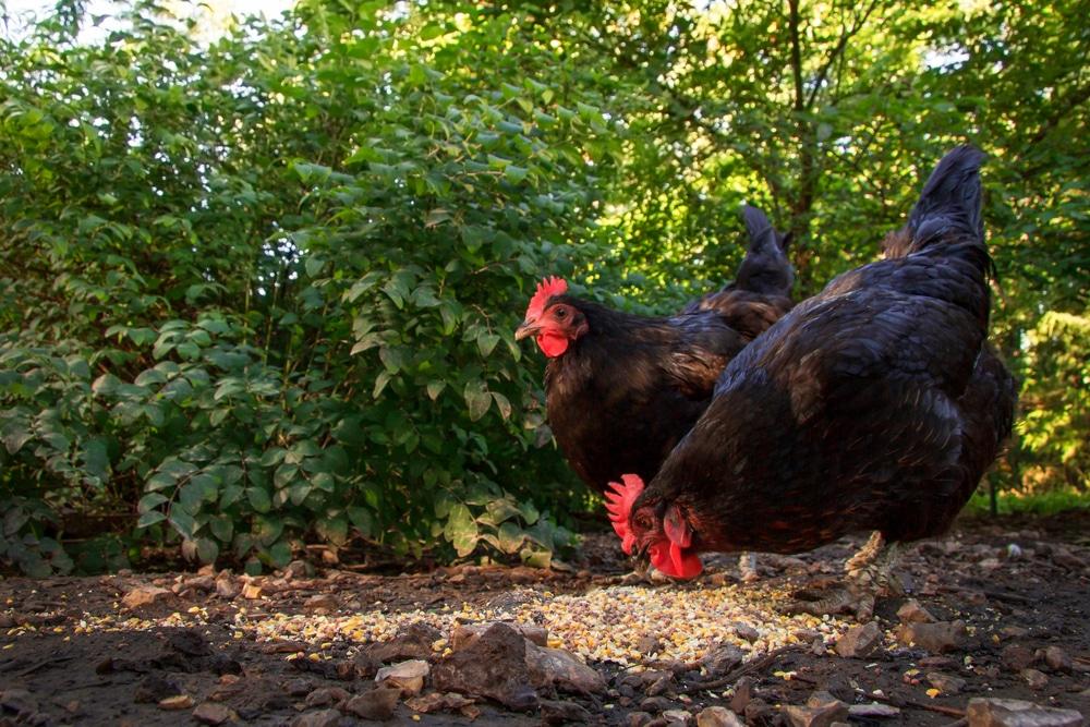 australorp hens