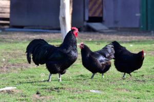 australorp chickens in yard