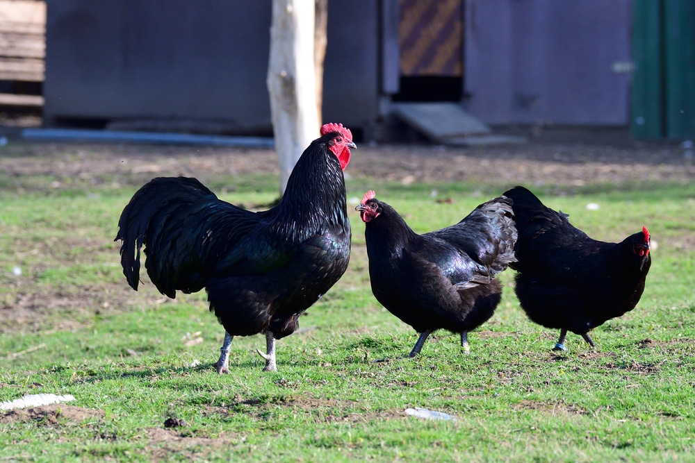 australorp chickens in yard