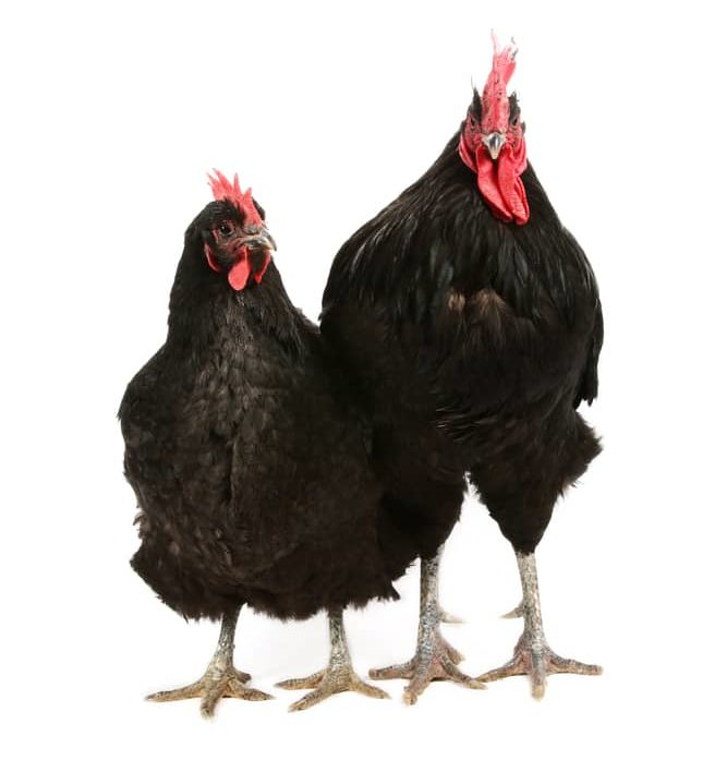 Jersey giant rooster and hen