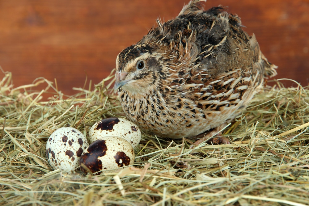 Young quail with eggs