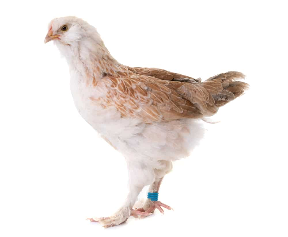 young Faverolles chicken