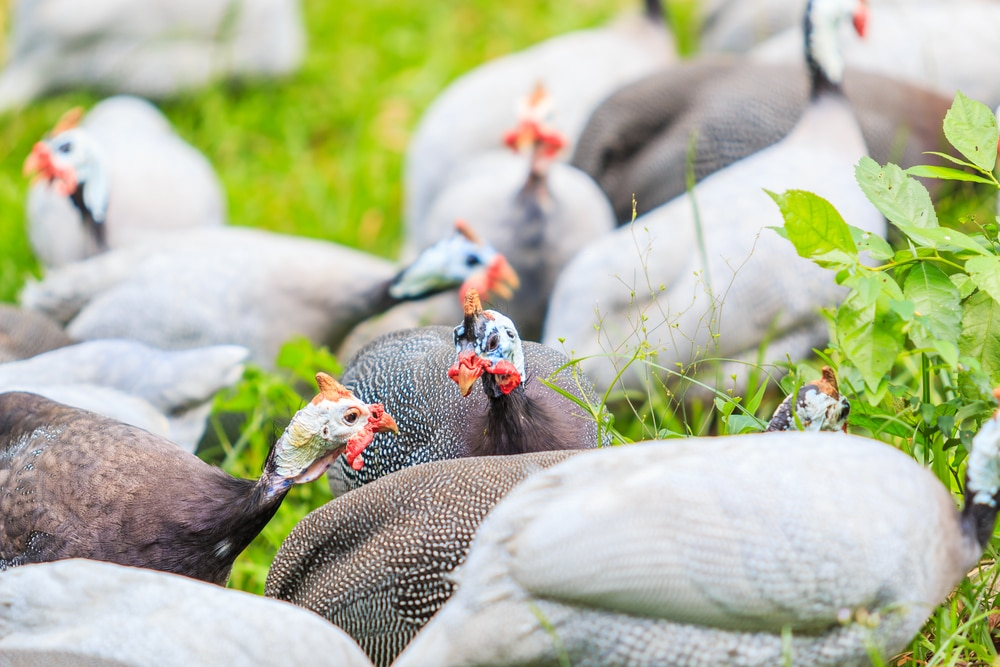 guinea fowl and chickens