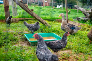 chickens and ducks on farm