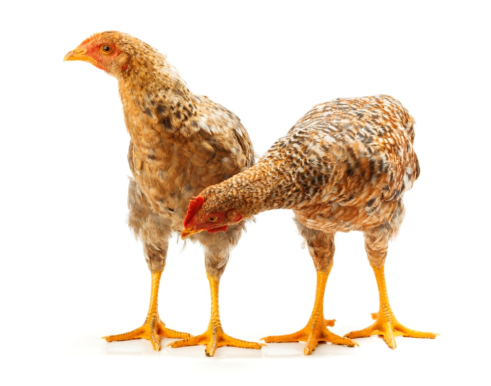 pullet chickens