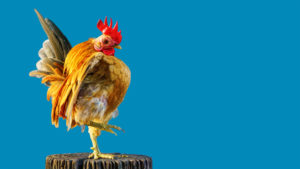 serama chicken