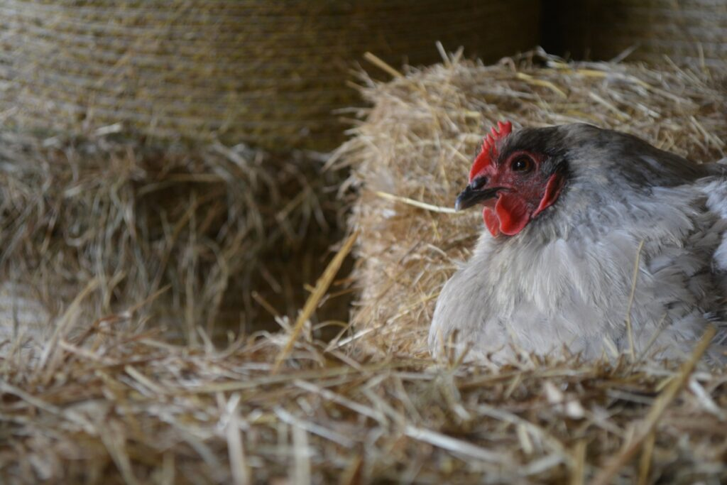 Lavender Orpington Chickens